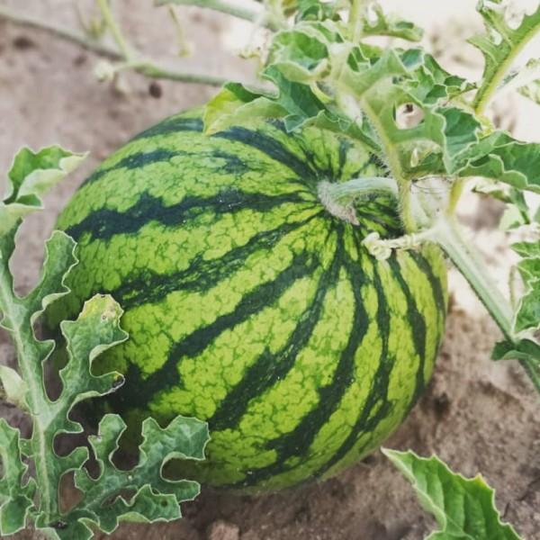 Bio-Wassermelone
